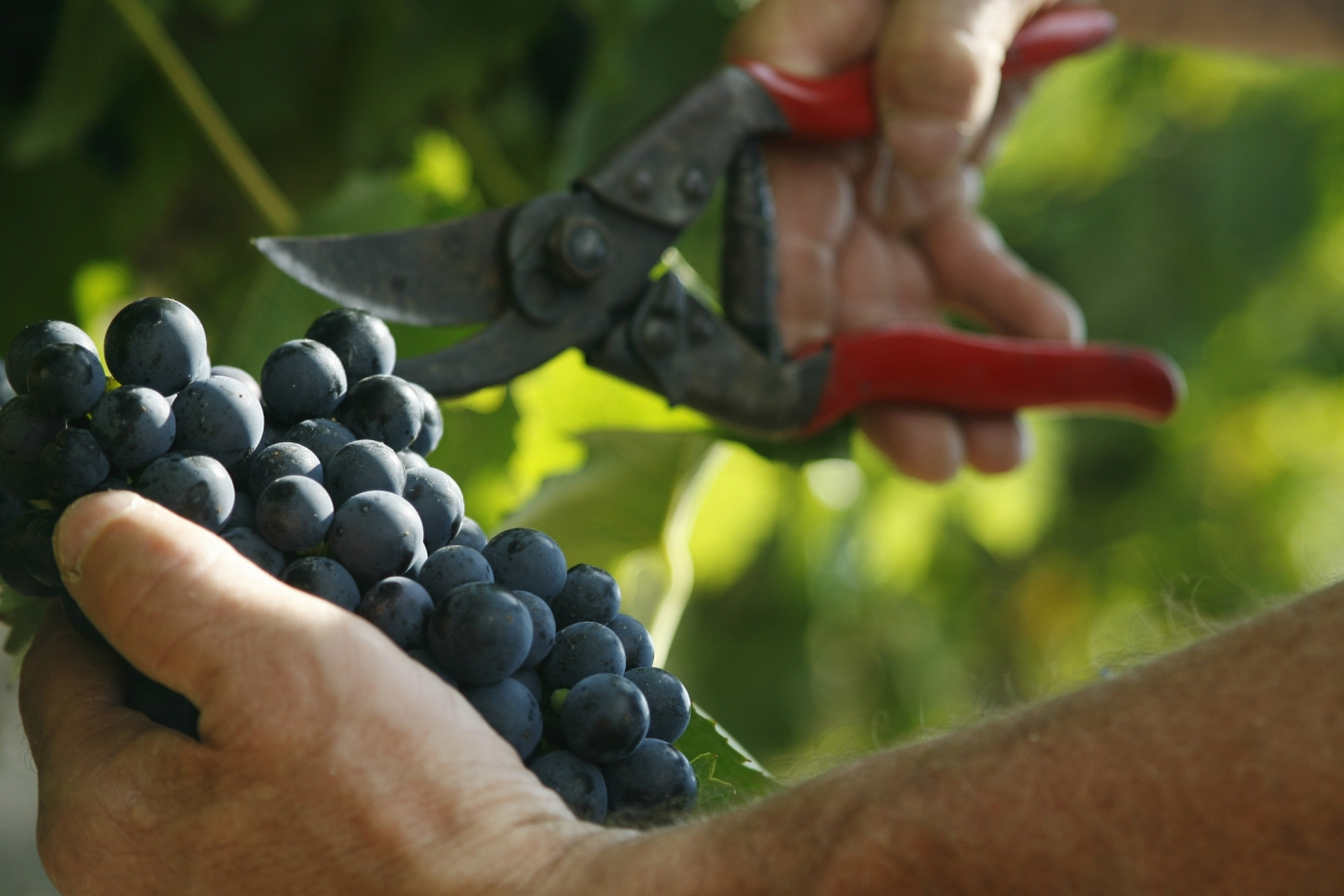 UNA VENDEMMIA IMPERDIBILE